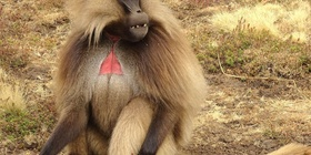 Trek with the Endemic Gelada Baboons